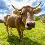 Pembrokeshire Farm Hires 110 Cows!